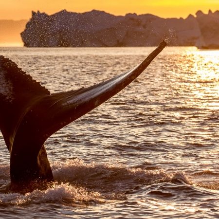 Sea eagles, seals, whales, musk oxen and polar bears. Greenland's wildlife is rich and extremely diverse.