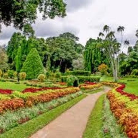 Peradeniya Botanical Gardens - As Sri Lanka's largest garden an elegant and spacious 147-acres (60-hectares) plenty of time is needed to stroll Peradeniya's imposing Avenue of Royal Palms. There are some 4,000 different species of plants at Peradeniya Gardens. The 10,000 or so trees, which are the stars, are mature, lofty giants, many of them tropical timber trees. Highlights of the collection include the Giant Bamboo of Burma, capable of growing to 40 meters height (130 feet).