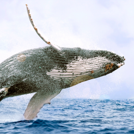 Home of the Grey and Humpback Whales during the winter season