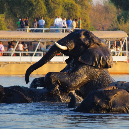Get up-close with swimming elephants on River Safari Cruises