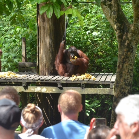 Pay a visit to the Sepilok Orangutan Rehabilitation Centre in Sabah to learn about this critically endangered species and the ongoing conservation efforts.