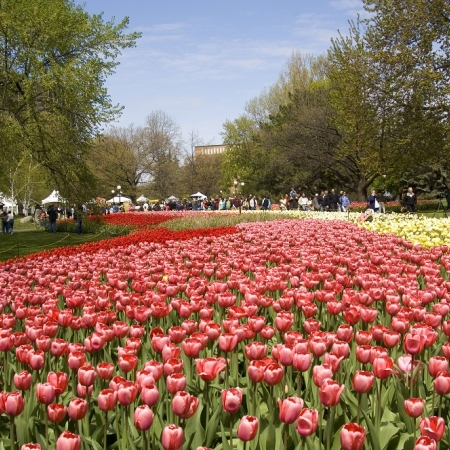 The Canadian Tulip Festival, is the largest of its kind in the world, features a million blooming tulips.