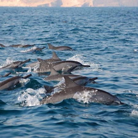 Enjoy a private yacht cruise whilst dolphins watching in the Gulf of Oman.